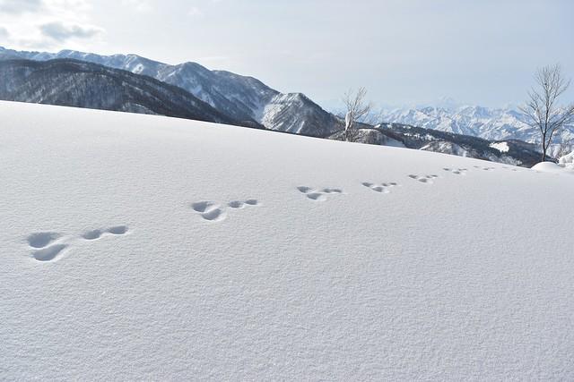 冬の守門岳 ウサギの足跡