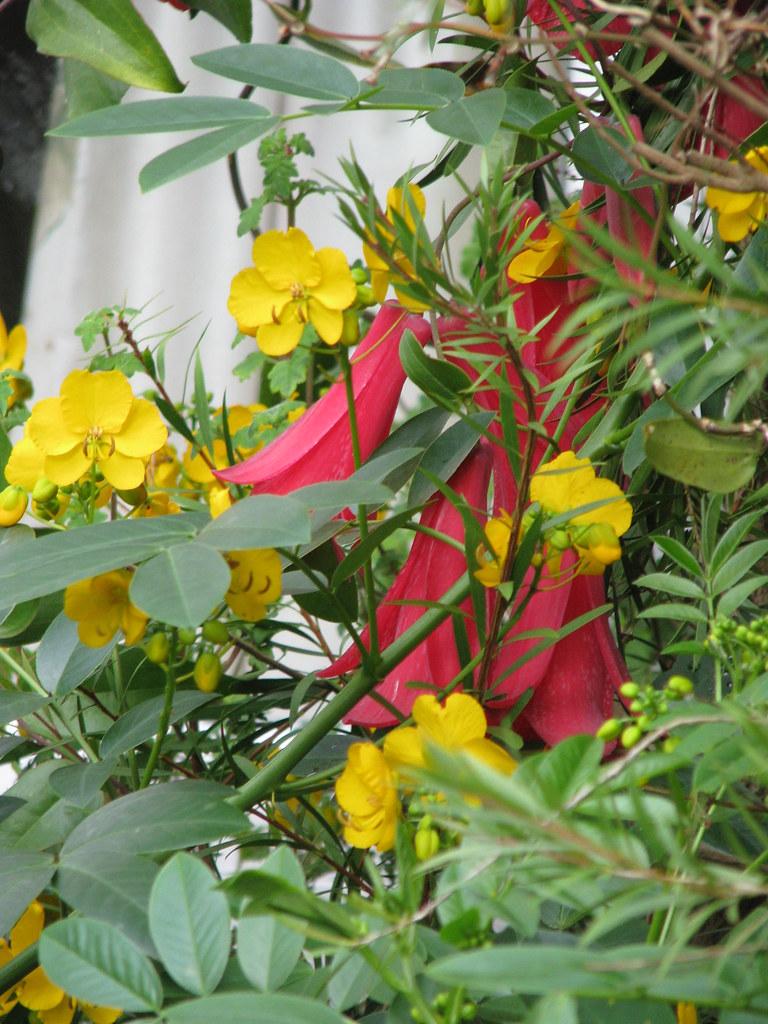 Lapageria rosea, & Senna corymbosa