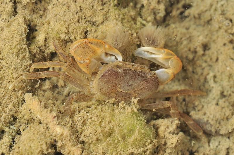 湧泉海岸林潔淨水源與底質,創造特異折顎蟹獨特棲地。