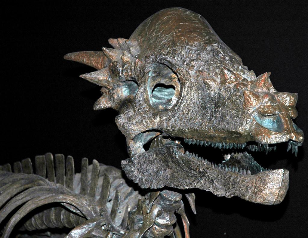 Pachycephalosaurus wyomingensis dinosaur (Upper Cretaceous ... Pachycephalosaurus Head