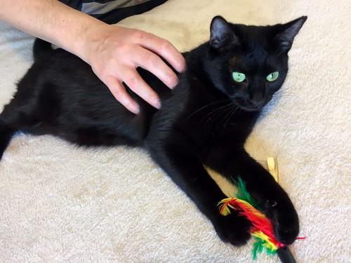 Morgana, gatita negra monísima, juguetona y tímida esterilizada, nacida en Julio´16, en adopción. Valencia. ADOPTADA. 32486901784_da9f5cd059