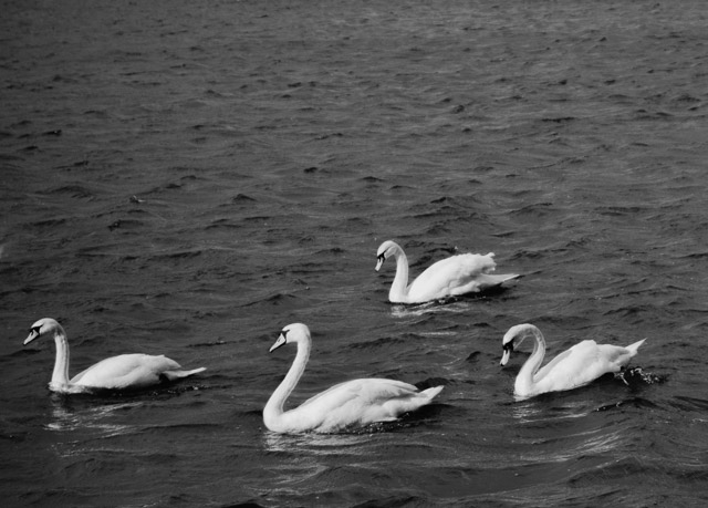 swans at roath park