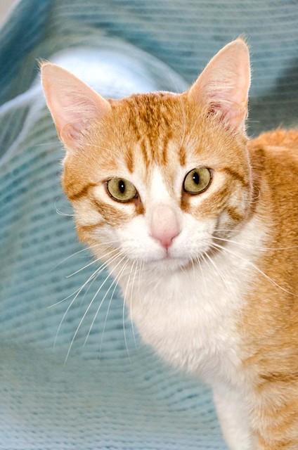 Robin, gato blanco y naranja guapo y súper dulce esterilizado, +inmunodeficiencia nacido en Marzo´15, en ADOPCIÓN ESPECIAL. Valencia. ADOPTADO. 33154693134_88f9b937cc_z