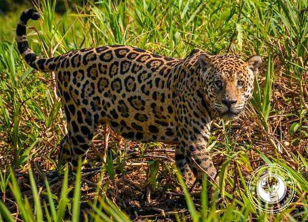 Jaguar making eye contact in the grass