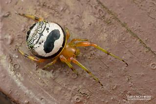 Kidney garden spider (Araneus mitificus) - DSC_7481