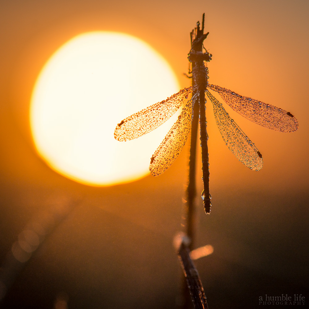 Dragonfly Silhouette | Glendon Rolston | Flickr