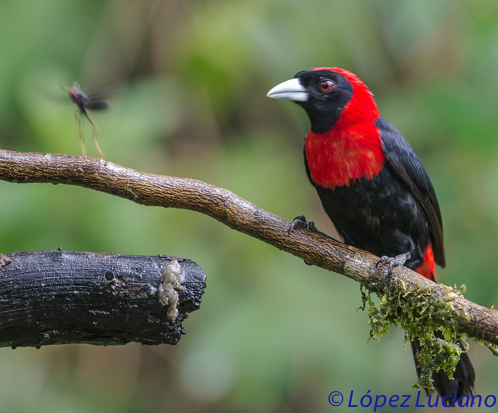 Crimson-collared Tanager Range Crimson Collared Tanager