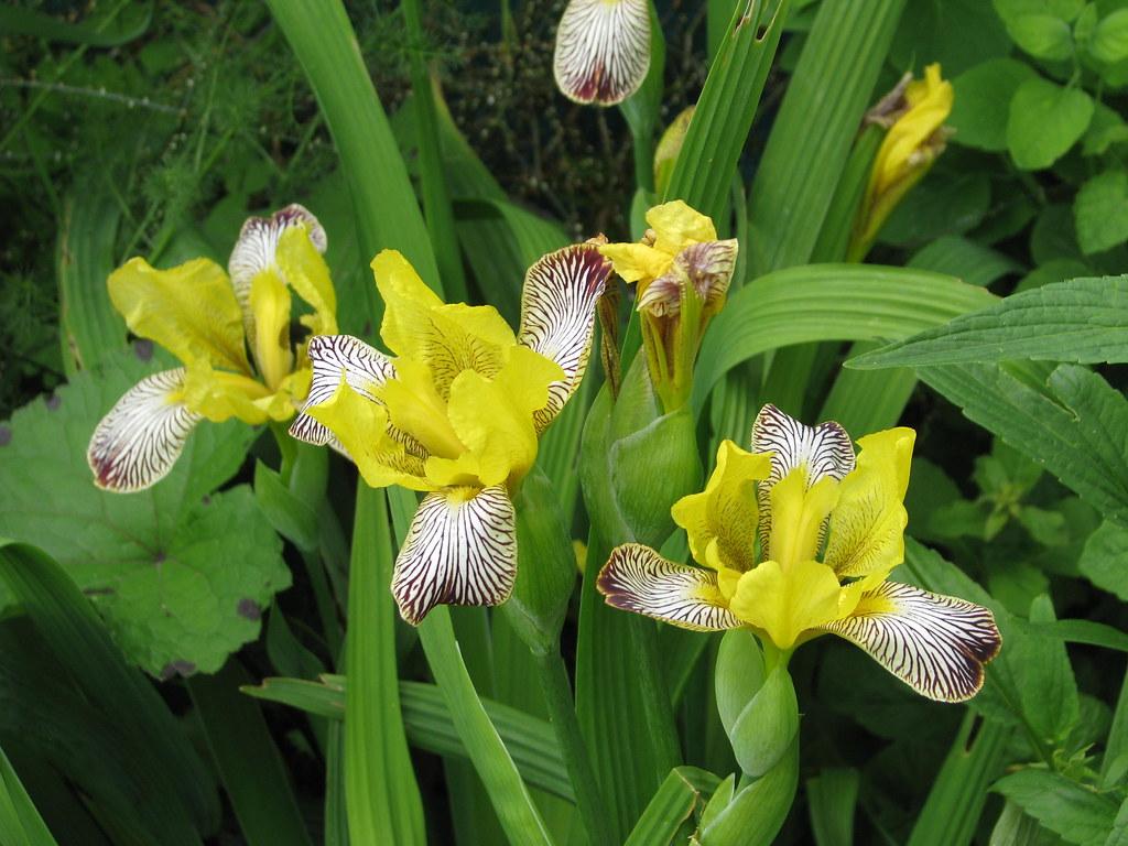 Iris variegatus