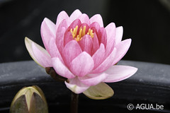 Nymphaea Perry's Super Red 1989