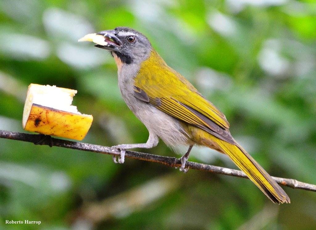 un oiseau à trouver Martin 20 mars trouvé par Martine - Page 2 15628415491_170ecbd811_b