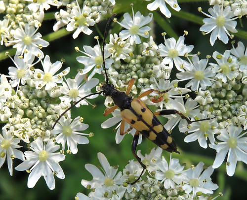 Black and Yellow Longhorn Rutpela maculata Tophill Low NR, East Yorkshire June 2015