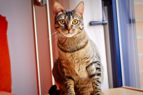 Muriel, gatita atigrada parda tímida y dulce esterilizada, de ojos cobrizos, nacida en Abril´16, en adopción. Valencia. 33245782995_3344bef8da