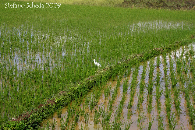 Rice field - Toliara, Madagascar=