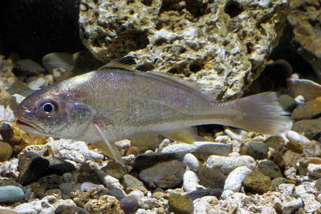 難得一見的活體春子魚,小型種石首魚生命相當脆弱,要保持活體相當不易。圖片來源:白尚儒。