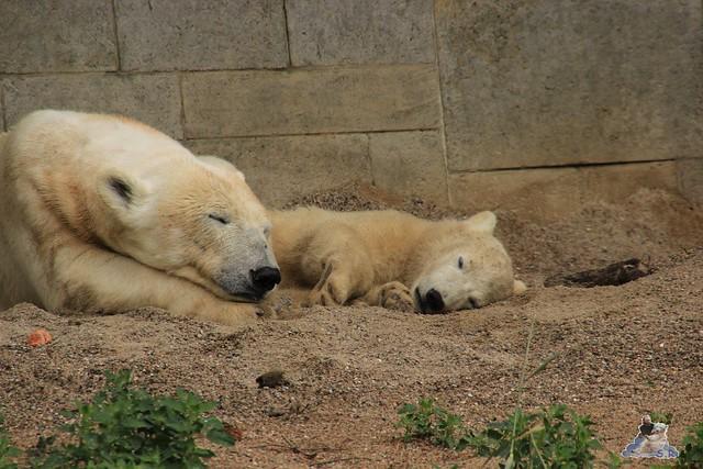 Eisbär Fiete im Zoo Rostock  9