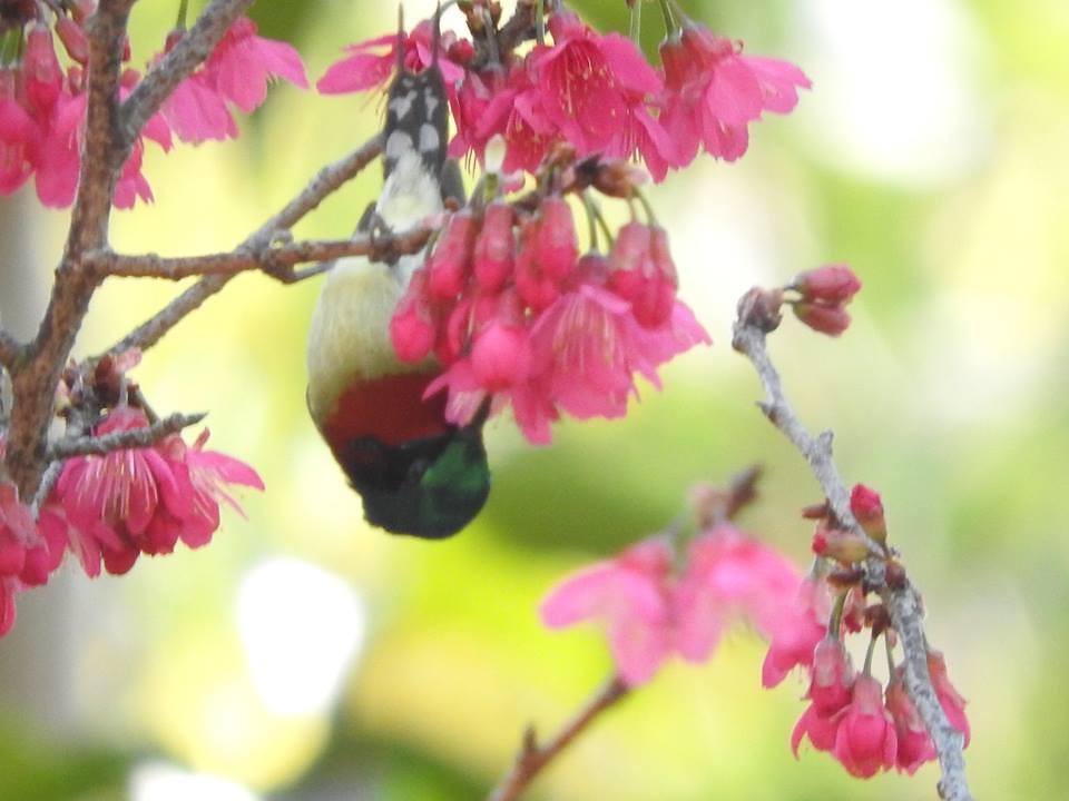 倒掛太陽鳥。圖片來源:陳秀竹。