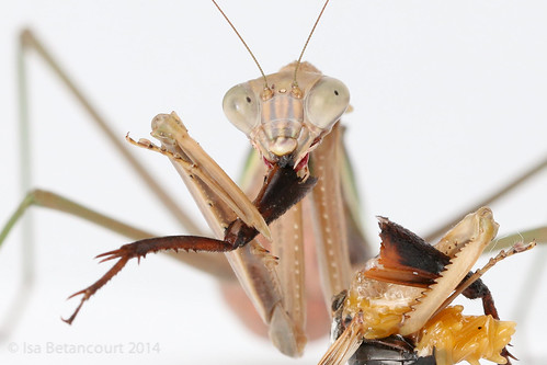 A nice close-up of a hungry mantis caught eating a meaty insect drumstick grasped in its right forelimb. The remains of the drumstick's associated body are held in its left.