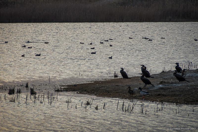Diversas aves acuáticas en la laguna de Cal Tet