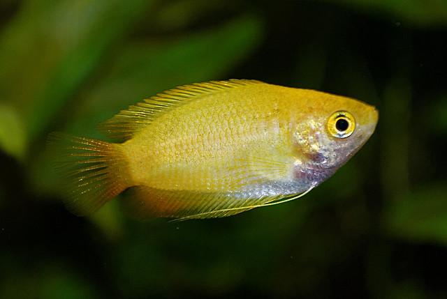 Медовые гурами (Trichogaster chuna), фото фотография аквариумные рыбки