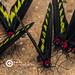 Rajah Brooke's Birdwing- Trogonoptera brookiana albescens ♂