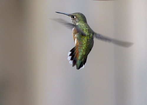 Flight shot showing the diagnostic R2 for female Rufous