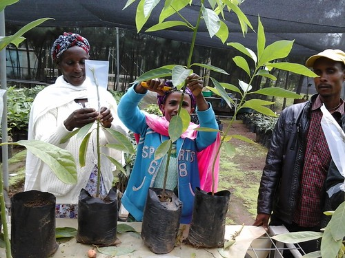 Avocado seedling grafting practices (Photo:ILRI\LIVES)