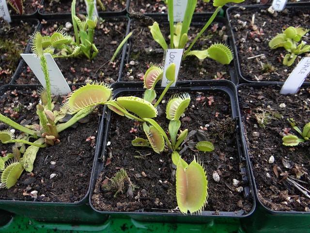 Dionaea muscipula 'Louchapâtes'