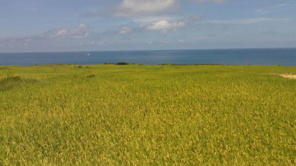 花蓮縣沿海擁有阿美族特有的海稻米文化。