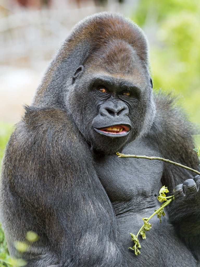 Unhappy Big Gorilla Eating  The Silverback Was Sitting -6530
