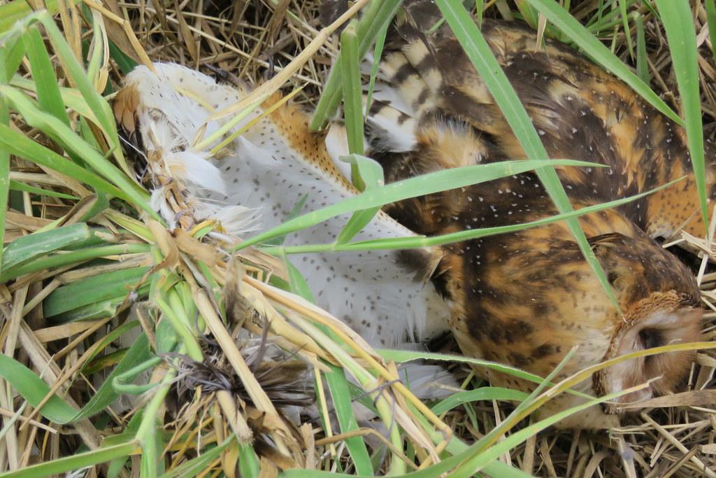 草鴞遭驅鳥繩纏繞翅膀無法飛行,而餓死。照片提供:高雄市野鳥學會