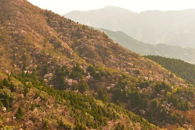 伊豆山稜線歩道 マメザクラ満開の山肌