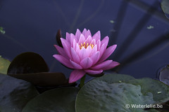 Nymphaea Perry's Super Rose 1990