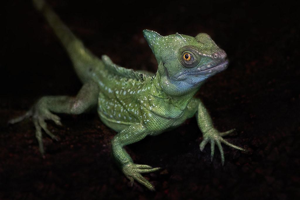 Iguanidae Iguanidae 2