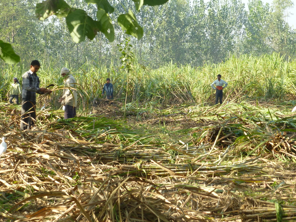 The sugarcane crop is not suited to the region of Maharashtra.