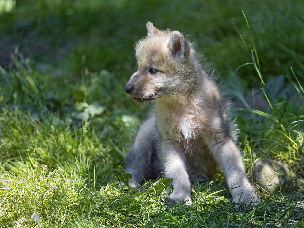Image Result For Arctic Wolf Animal