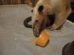 Pua enjoying her supplements