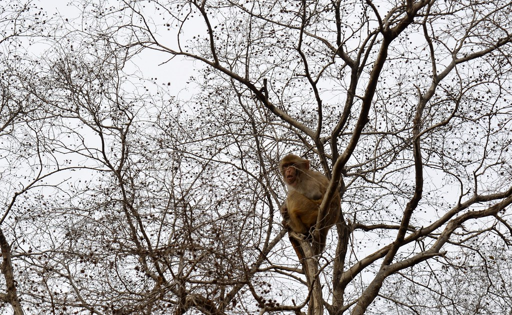 Monkeys caught from Delhi's residential areas are released here.