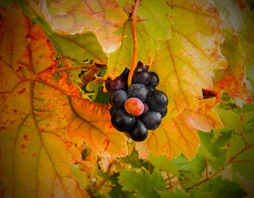 Grapes in Rioja, Spain