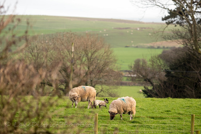 子羊 春 羊 英国 イギリス 湖水地方 風景 雄大 自然