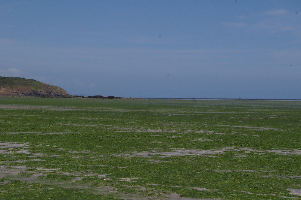 marée verte, saint-brieuc, plage, pollution