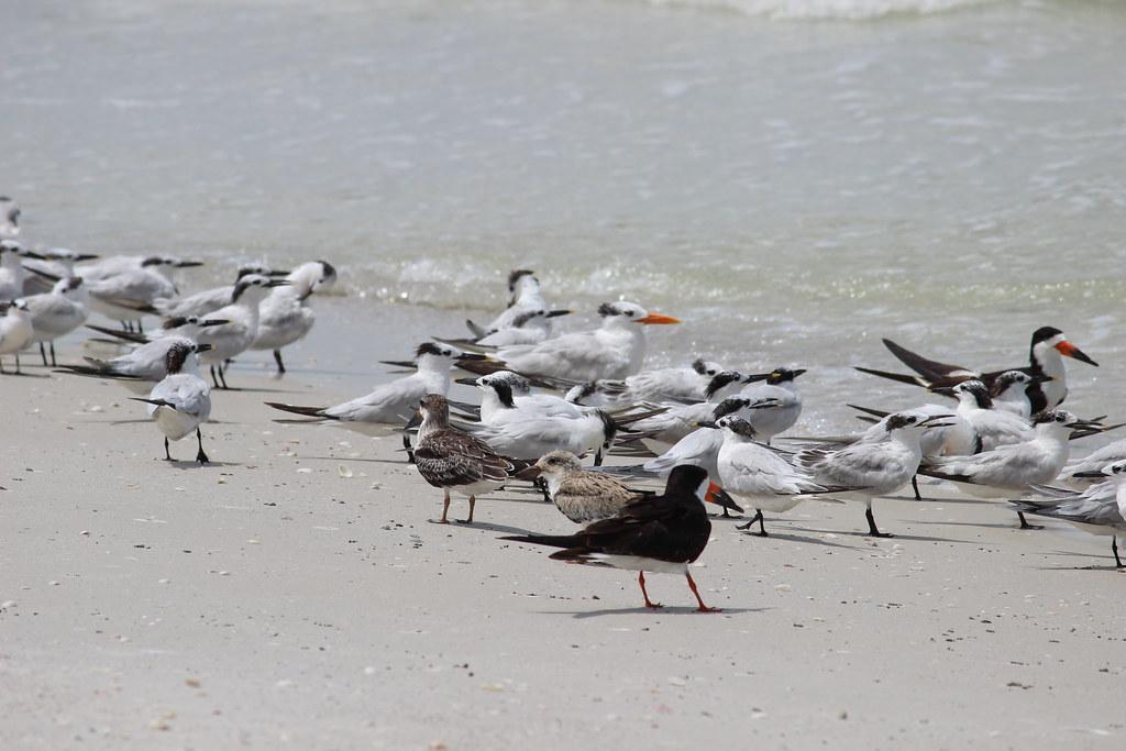 Shorebirds fwc photo by carol rizkalla florida fish for Florida fish and wildlife jobs