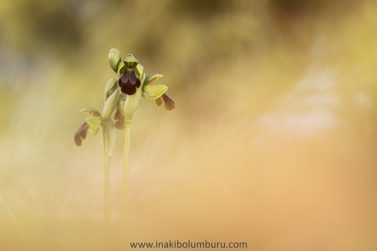"""07.- """"Ophrys Lupercalis"""" - Inakibo"""