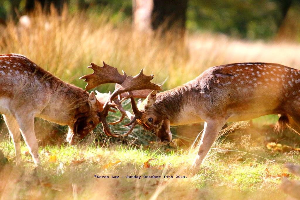 Yeh, Butt No Butt!!............... | Fallow Deer Rut ...