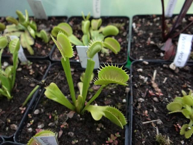 Dionaea muscipula 'Dentate traps'