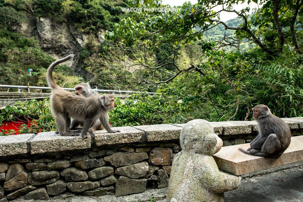 台東泰源看猴子4