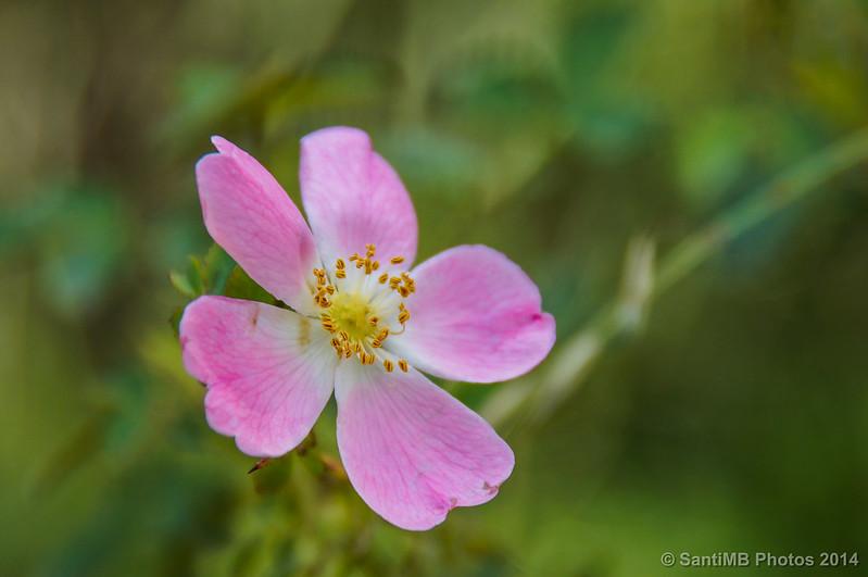 Una simple rosa rosa