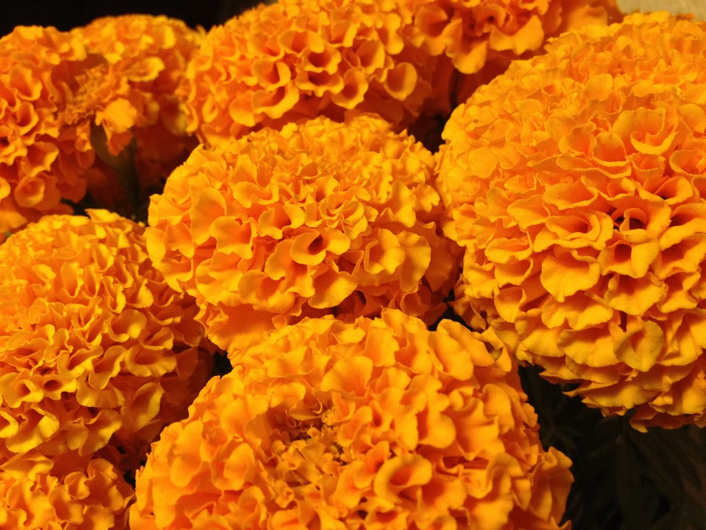 Marigolds, Day of the Dead #orange #flower | Ray Bouknight ...