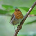 European Robin during moulting