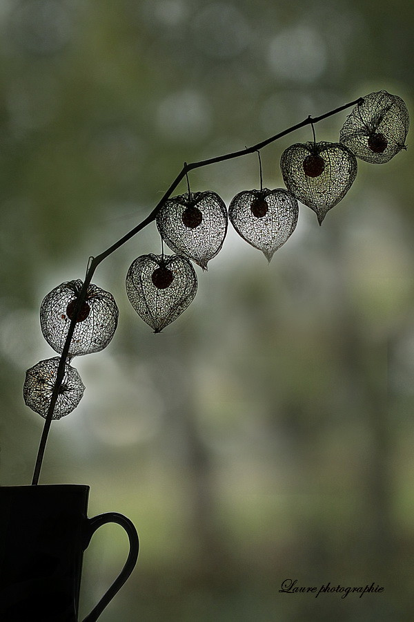 amour en cage physalis alkekengi la plante est surtout con flickr. Black Bedroom Furniture Sets. Home Design Ideas
