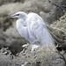 Egret in infrared